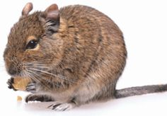 Caring for your Degu