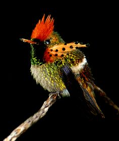 Trinidad . Asa Wright Nature Centre is among the most engaging nature lodges in the world. Sit on the veranda sipping a rum punch and watching tropical birds swarming the feeders. The tufted coquette, second only to the bee hummingbird as the smallest bird in the world. belies is size with over-sized adornments.