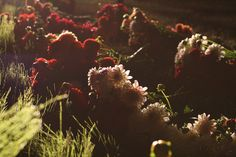 nighttime dahlia harvest. gorgeous light. #floret