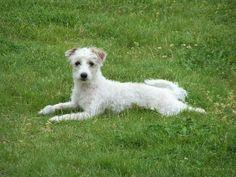 Maltese/Italian greyhound!