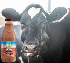 קמפיין חדש של עמותת 'קירות שקופים' מקשר בין אריזות מוצרים כמו שניצל, שוקו, מילקי, גבינה וקוטג' לבין בעלי החיים מהם המוצרים הופקו. Drinks, Bottle, Food, Drinking, Beverages, Flask, Essen, Drink, Meals