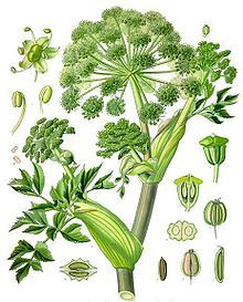>How to identify angelica, its culinary uses and flavor profile, preparation and storage, with recipes featuring angelica. Medicinal properties of angelica.