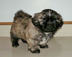 1000 Images About Solid Brindle Shih Tzu On Pinterest Tzu Beautiful Little Girls And Bonito