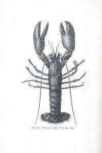 Vintage printables     http://vintageprintable.com/wordpress/vintage-printable-animal/animal-crustaceans-and-related/animal-crustacean-lobster-crayfish-2-2/