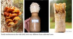 Can Eating Enoki Mushrooms Lower Your Cancer Risk? An article by Paul Stamets about the amazing Enoki!