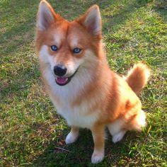 Meet Mya, a dog who looks exactly like a little fox.