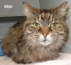 ADOPTED! Tag# 8733 Name is Erin Tiger  Female-not spayed Sweet girl!  Located at 2396 W Genesee Street, Lapeer, Mi. For more information, please call 810-667-0236 Adoption hours are  M-F 9:30-12, 12:30-4:30, except Wednesday-closed at noon and open Saturday 9-2  https://www.facebook.com/267166810020812/photos/a.824038914333596.1073742143.267166810020812/824039591000195/?type=3&theater