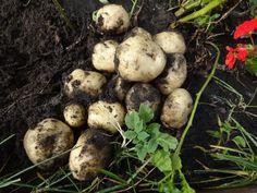 Новыйl Выращивание картофеля из семян: нужно ли оно? Полное описание технологического процесса, подходящие для этого сорта (Фото & Видео) +Отзывы Check more at https://krrot.net/vurashivanie-kartofelya-iz-semyan/