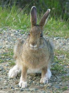 Snowshoe hare in summer coloration Snowshoe Hare, White Winter Coat, Jack Rabbit, Classic Literature, True Nature, Beautiful Creatures, Brown And Grey, Mammals, Habitats