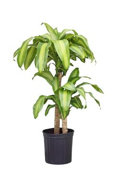 12afdf67fc4c3e95d91e610c12a22aca House Plant Leaves Turning Yellow With Brown Tips on