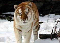 Strano, Neve, Tigre, širokoúhlý, sfondi