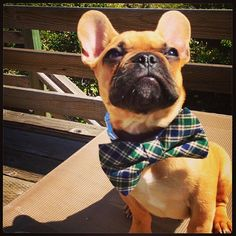 Few things better than a Frenchie in a bow-tie..