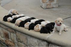 stripes of puppies