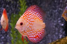 A domestic fish; discus.