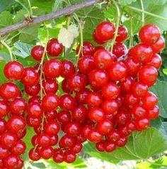 Nalewka czerwona porzeczka, nalewki domowe. Przepis na nalewkę z czerwonej porzeczki Fruit, Food, Kitchens, Drinks, Thermomix, Garten, Meal, The Fruit, Essen