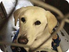 Mesa, AZ - Labrador Retriever Mix. Meet A3865861, a dog for adoption. http://www.adoptapet.com/pet/17290477-mesa-arizona-labrador-retriever-mix