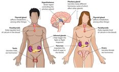 Menses and Sexual Changes in Women After Trauma What is the endocrine system? Your endocrine system includes glands and organs that make and release hormones, which are chemicals that help your bod… Natural Body Detox, Full Body Detox, Human Anatomy Chart, Master Cleanse, Endocannabinoid System, Detox Program, Weight Loss Cleanse, Endocrine System, Hormone Imbalance