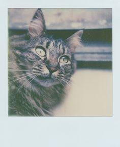"""Patrick Tobin's big ole cat, """"LB"""" on PX70 film."""