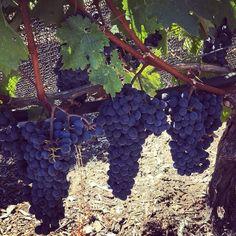 Época de colheita nas videiras de uva Chardonnay #trip #lifeisgood #olioliteam @olioli_lifestyle