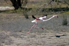 Happy to be living in Embedded Image Permalink, Kos, Greece, Birds, Nature, Photography, Animals, Flamingo, Salt