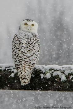 Snowy Owl © 2013 Sheen's Nature Photography - I remember seeing one of these chouette neige quite often as a kid, in the winter in Western NY state. Beautiful Owl, Animals Beautiful, Cute Animals, Animal Photography, Nature Photography, Owl Pictures, Tier Fotos, Snowy Owl, Hamsters