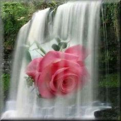 Beautiful pink rose in a waterfall I Miss My Mom, I Love Mom, Beautiful Pink Roses, Love Rose, Red And Pink, Red Roses, Heaven, Google, Pretty