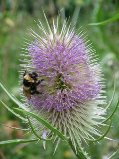 My own photo. Sea Holly, Purple Garden, Insects, Mosaic, Seeds, Creatures, Doors, Flower, Outdoor