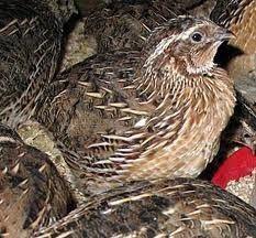 Quail Quailology Raising Culture Breeding Bobwhite 10 bks lot Homestead cd Eggs $5.99