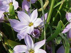Tristagma uniflorum - De la famille des Amaryllidaceae, genre Tristagma