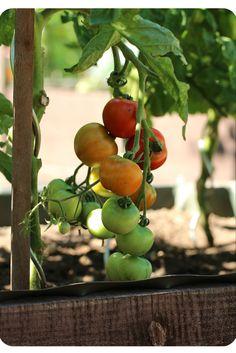 """Harzfeuer"" (Tomate)   Arthurs Tochter Kocht by Astrid Paul"