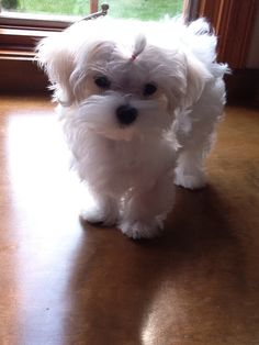 Your very favorite pictures - Page 2 - Maltese Dogs Forum : Spoiled Maltese Forums