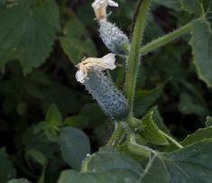 Secrete ale cultivarii castravetilor in gradina bio