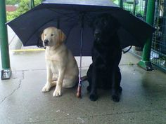 Jagr & Otto: Two Labradors Defining Brotherhood   It's a Lab Thing