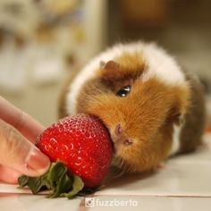 Little Fuzzberta meets Strawberry Did you see last night's strawberry moon? -