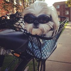 27 Adorable Shih Tzus Who Will Make Your Day Better