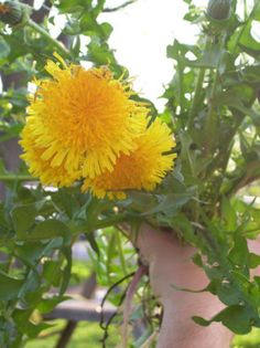 Dandelions: Miracles in your front yard (plus dandelion tincture recipe)
