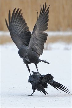 I corvid l Raven And Wolf, Quoth The Raven, Raven Bird, Crow Bird, Crow Images, Dark Wings, Cat Reference, Jackdaw, Crows Ravens