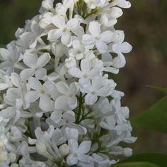 lila flieder-arten pflege-garten pflanzen-frühlingsblüher, Garten und Bauten