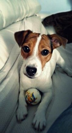 Wanna play with me? Cute Baby Puppies, Baby Dogs, Cute Dogs, Dogs And Puppies, Maltese Puppies, Chien Jack Russel, Jack Russell Puppies, Jack Terrier, Parson Russell Terrier