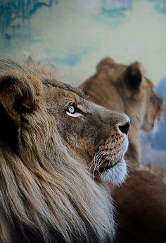 visualechoess: Pondering Lion - (via) | VE