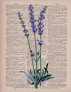 Lavender Flower/Plant Dictionary Art Print by AmourPrints on Etsy Book Page Art, Book Art, Newspaper Art, Dictionary Art, Purple Aesthetic, Lavender Flowers, Botanical Prints, Aesthetic Wallpapers, Collage Art