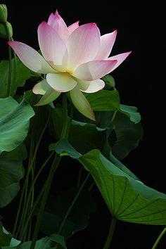 Lotus Flower - IMG_6043 by Bahman Farzad, via Flickr