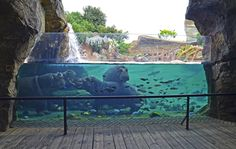 Hipopótamos en la cueva de Kitum   Hippopotamus at Kitum cave   www.bioparcvalencia.es
