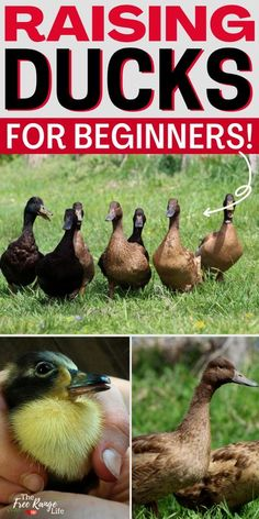 Are you a beginner homesteader? This quick start guide to raising ducks will make you into a homestead pro! Learn everything you need to know about getting started raising ducks for eggs, meat, or pets! This guide features duckling care, raising ducks in the winter, building ponds, pens and even in your backyard! Don't miss this amazing guide to raising ducks! Backyard Ducks, Backyard Poultry, Backyard Farming, Raising Ducks, Raising Goats, Raising Chickens, What To Feed Ducks, Duckling Care, Keeping Ducks