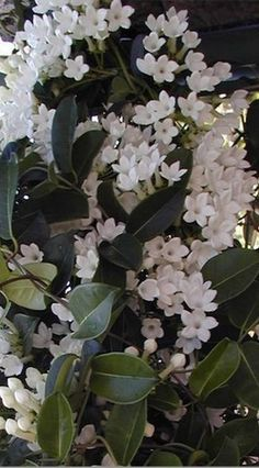 The jasmine plant is known for its beauty and fragrant odor that fills the spring, summer and early autumn air. The jasmine vine or shrub belongs to the olive family. It is native to areas with warm and tropical climates Jasmine Vine, White Jasmine, White Flowers, Beautiful Flowers, Tropical Flowers, Purple Flowers, White Plants, Garden Shrubs, Flowering Vines