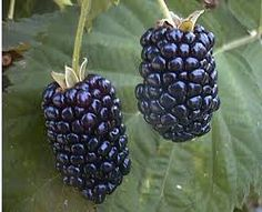 Ebony King Blackberry Ebony King, Rubus 'Ebony King', is large and has delicious purple berries that are perfect for baking. Thornless Blackberries, Growing Blackberries, Blackberry Plants, Blackberry Bush, Blackberry Cobbler, Online Plant Nursery, Fruit List, Buy Plants Online, Raspberries