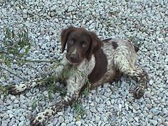 Liver and Roan Brittany Puppy