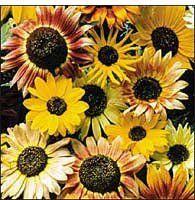 Seed Savers Exchange 1289 Open-pollinated Sunflower Seed, Sunflower Mixture, 100 Seed Packet bySeed Savers Exchange