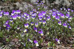 Viola tricolor keto-orvokki