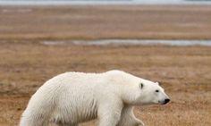 Polar bear: Wrangel Island